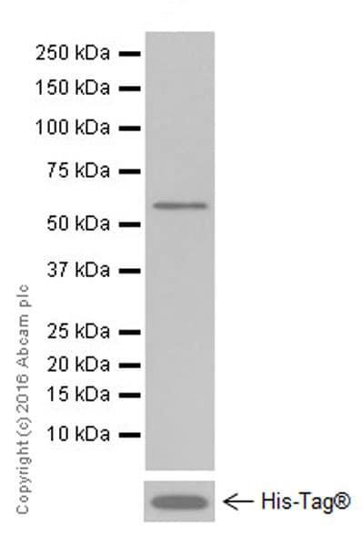Western blot - Anti-Tubulin antibody [EPR13796] - Loading Control (ab210797)