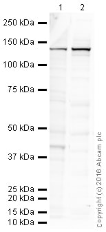 Western blot - Anti-iNOS antibody [EPR16635-ChiM-IgG2b] (ab210823)