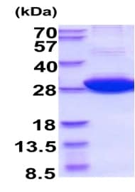 SDS-PAGE - Recombinant Human 14-3-3 eta/YWHAH protein (ab210881)