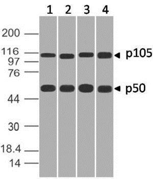 Western blot - Anti-NFkB p105 / p50 antibody [ABM20H5] - N-terminal (ab210924)
