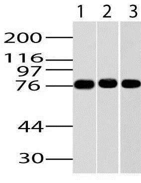 Western blot - Anti-IKKi/IKKe antibody [ABM13C7] - N-terminal (ab210927)