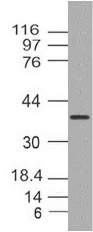 Western blot - Anti-E3 ubiquitin-protein ligase MUL1 antibody [ABM4F71] - C-terminal (ab210929)