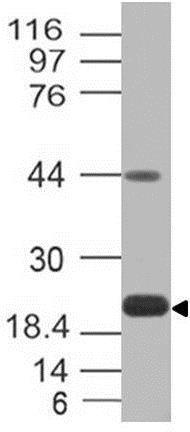 Western blot - Anti-PD-L1 antibody [ABM4E54] (ab210931)