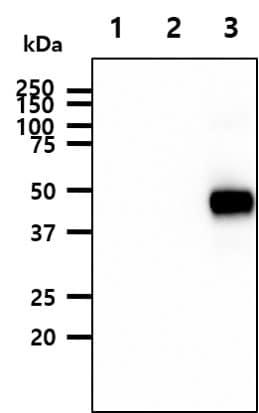 Western blot - Anti-HA1(H5N1) antibody [2B7] (ab210953)