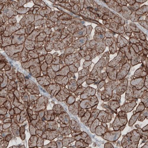 Immunohistochemistry (Formalin/PFA-fixed paraffin-embedded sections) - Anti-Laminin beta 2 antibody [CL2979] (ab210956)