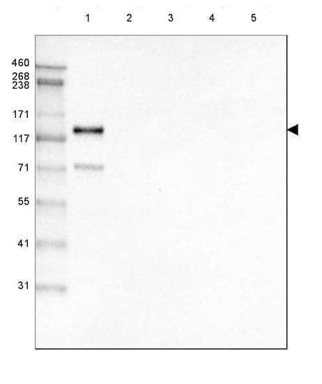 Western blot - Anti-LAMC2 antibody [CL2980] (ab210959)