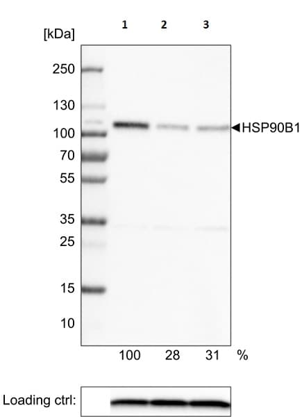 Western blot - Anti-GRP94 antibody [CL2647] - C-terminal (ab210960)