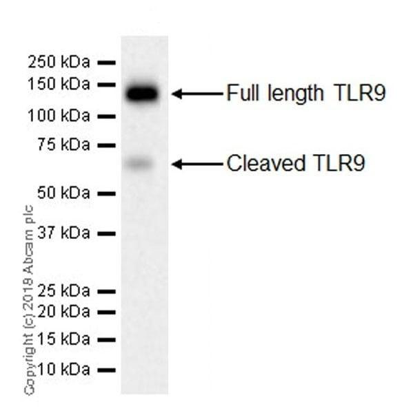 Western blot - Anti-TLR9 antibody [EPR21735] (ab211012)