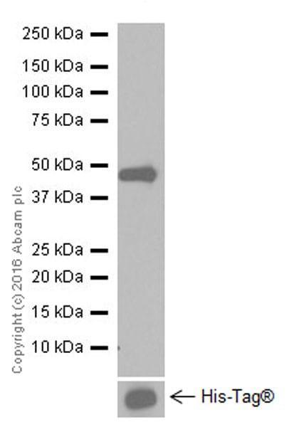 Western blot - Anti-Tissue Factor antibody [EPR20369] (ab211016)