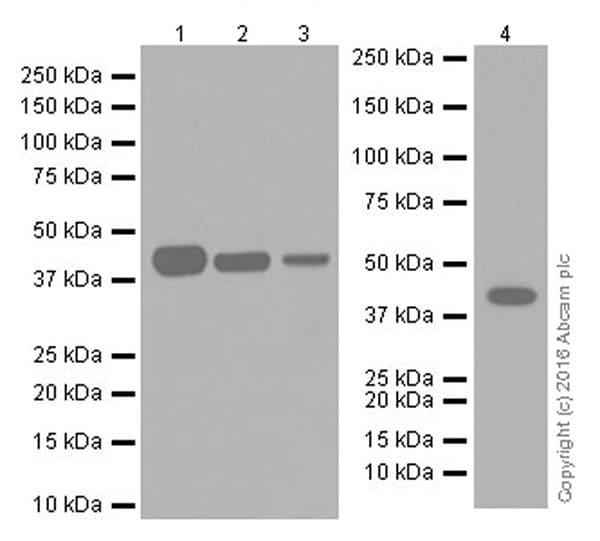 Western blot - Anti-Indoleamine 2, 3-dioxygenase antibody [EPR20374] (ab211017)