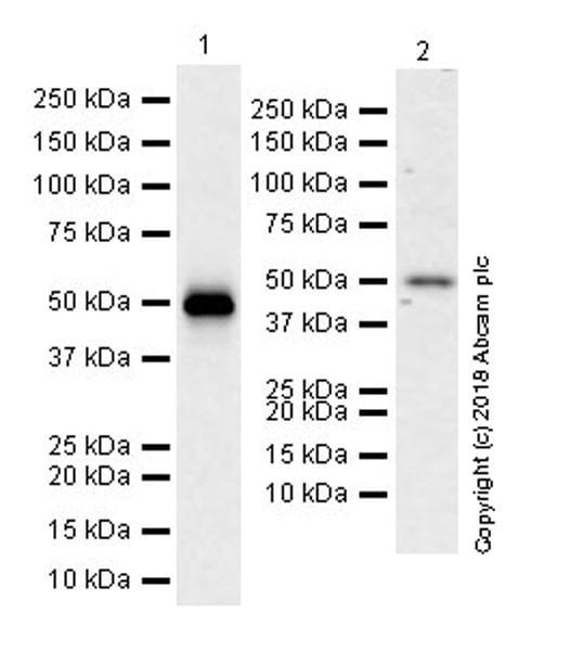 Western blot - Anti-p53 antibody [EPR20416-117] (ab211020)