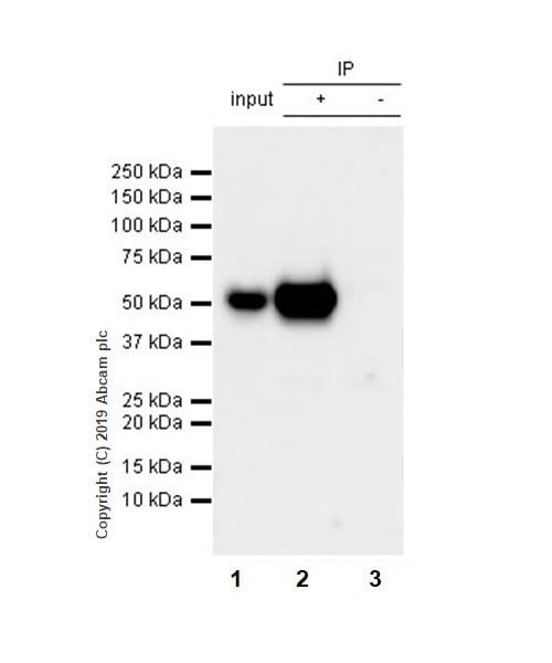 Immunoprecipitation - Anti-p53 antibody [EPR20416-117] (ab211020)