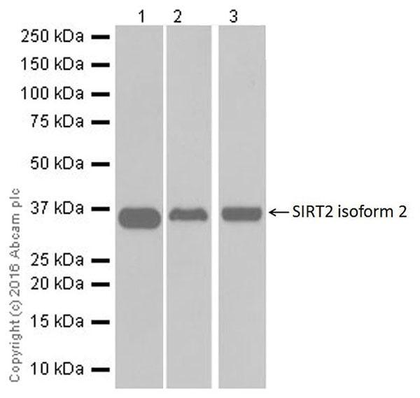 Western blot - Anti-SIRT2 antibody [EPR20411-105] (ab211033)