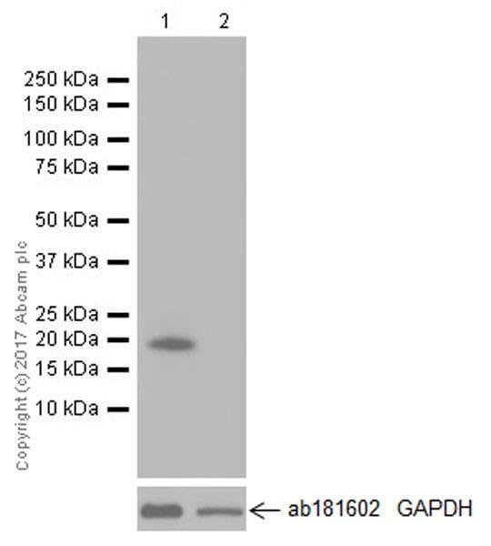 Western blot - Anti-TNFSF18/GITRL antibody [EPR20583] (ab211037)