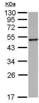 Western blot - Anti-GABA A Receptor alpha 1 antibody (ab211131)