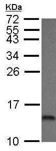 Western blot - Anti-COX5A antibody (ab211139)