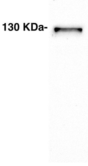 Western blot - Anti-MCM2 antibody - N-terminal (ab211146)