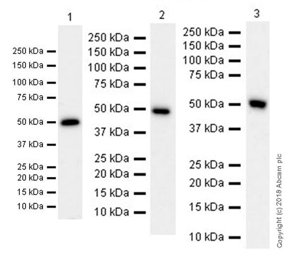Western blot - Anti-CD16 antibody [EPR20537] (ab211151)