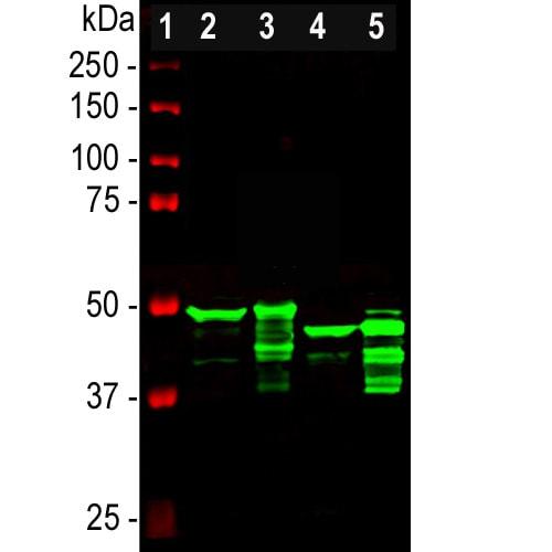 Western blot - Anti-GFAP antibody - Affinity Purified (ab211271)