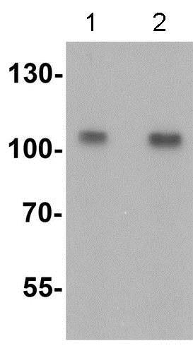 Western blot - Anti-TRIM24 antibody (ab211300)