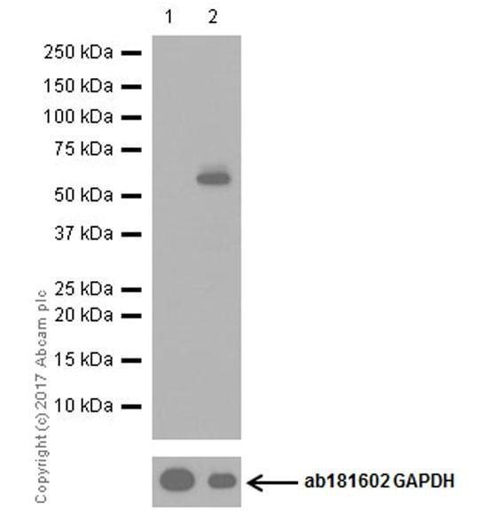 Western blot - Anti-SQSTM1 / p62 (phospho S349) antibody [EPR20451] (ab211324)