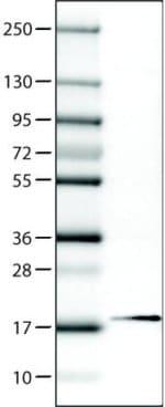 Western blot - Anti-RBM3 antibody [CL0296] (ab211356)