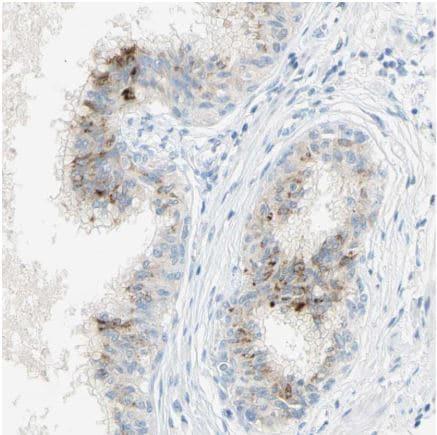 Immunohistochemistry (Formalin/PFA-fixed paraffin-embedded sections) - Anti-GDF15 antibody (ab211364)