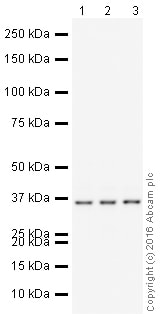 Western blot - Anti-PPP1CA + PPP1CB antibody [EP1511Y] (HRP) (ab211372)