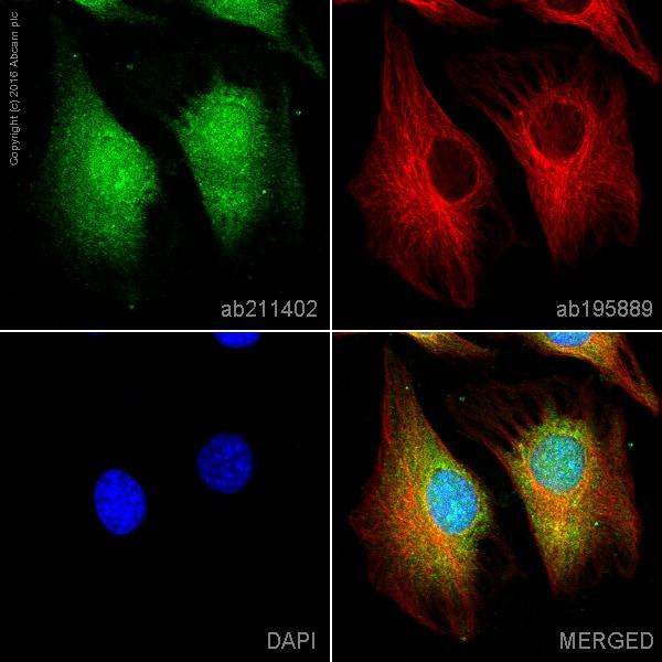 Immunocytochemistry/ Immunofluorescence - Alexa Fluor® 488 Anti-AKT1 + AKT2 + AKT3 antibody [EPR17671] (ab211402)