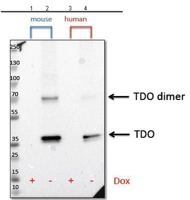 Western blot - Anti-DLX3 antibody [NCI-R183-14] (ab211492)