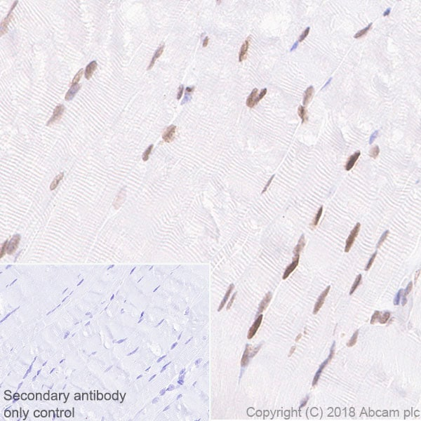 Immunohistochemistry (Formalin/PFA-fixed paraffin-embedded sections) - Anti-MEF2C antibody [EPR19089-202] - ChIP Grade (ab211493)