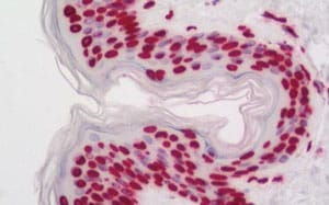 Immunohistochemistry (Formalin/PFA-fixed paraffin-embedded sections) - Anti-COMMD7 antibody (ab211509)