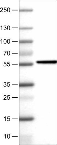 Western blot - Anti-NAPRT1 antibody [CL0665] (ab211529)