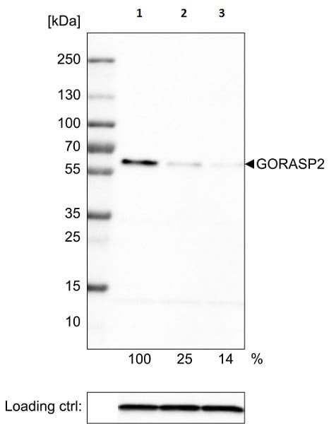 Western blot - Anti-GORASP2/GRASP55 antibody [CL2610] (ab211532)