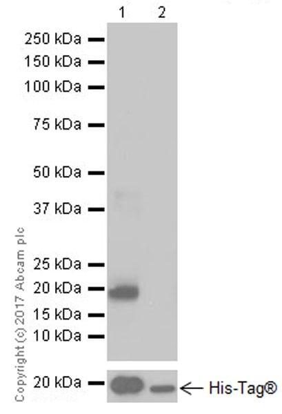 Western blot - Anti-CDKN2A/p16INK4a antibody [EPR20418] (ab211542)
