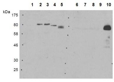 Western blot - Anti-E3 SUMO-protein ligase PIAS4/PIASy antibody [10-24.6] (ab211625)