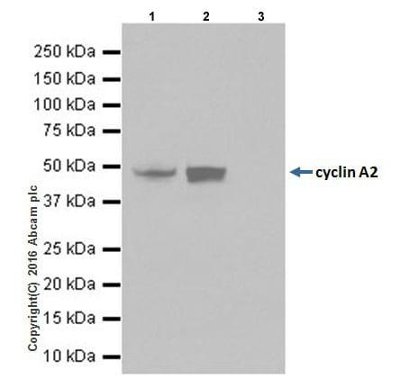 Immunoprecipitation - Anti-Cyclin A2 antibody [EPRR19346] (ab211736)