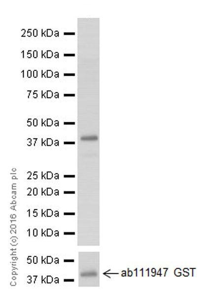 Western blot - Anti-Claudin 1 antibody [EPRR18871] (ab211737)