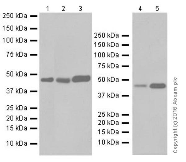 Western blot - Anti-NR2F2 antibody [EPR18443] (ab211777)
