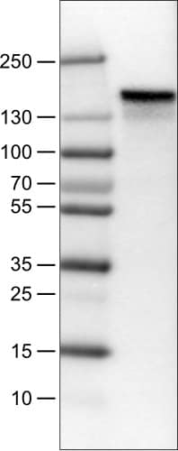 Western blot - Anti-Anillin antibody [CL0303] (ab211872)