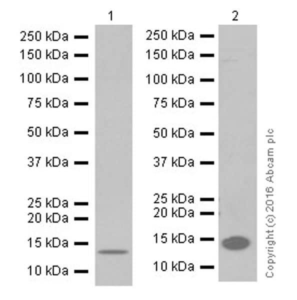 Western blot - Anti-CRABP2 antibody [EPR17376] (ab211927)