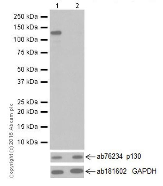 Western blot - Anti-p130 (phospho T986) antibody [EPR2389(2)] (ab211928)