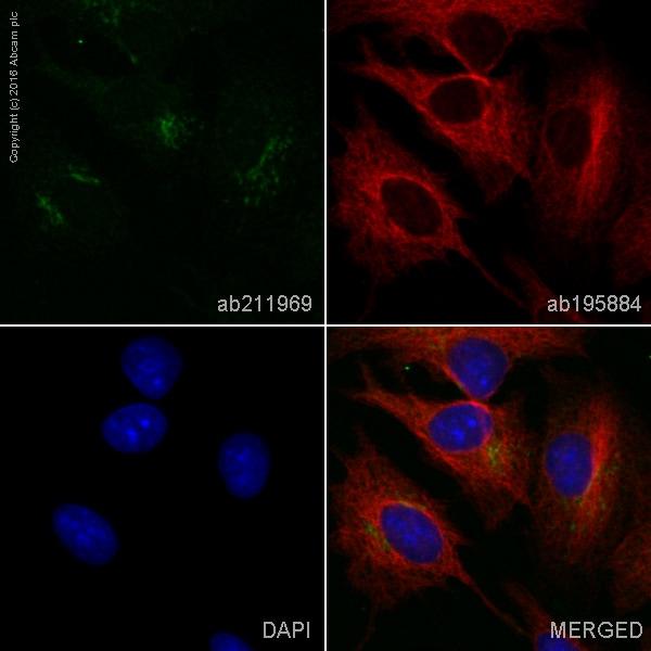 Immunocytochemistry/ Immunofluorescence - Anti-ATG9A antibody [EPR2450(2)] (Alexa Fluor® 555) (ab211969)