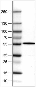 Western blot - Anti-NAPRT1 antibody [CL0366] (ab212028)