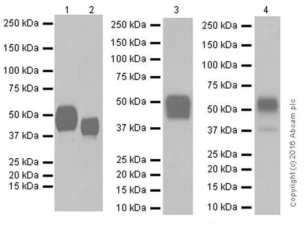 Western blot - Anti-CD147 antibody [EPR18008-67] (ab212057)