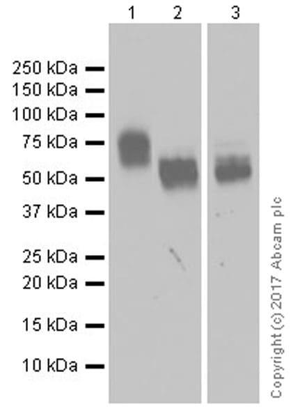 Western blot - Anti-CD226 antibody [EPR20710] (ab212077)