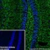 Immunohistochemistry (Frozen sections) - Anti-Alpha-synuclein antibody [EPR20535] (ab212184)