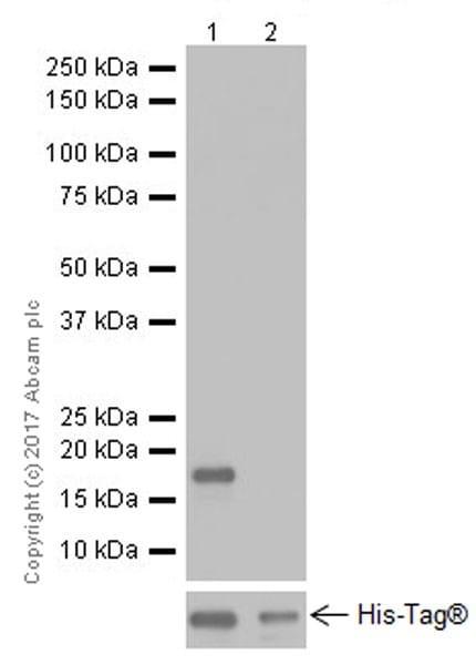 Western blot - Anti-Alpha-synuclein antibody [EPR20535] (ab212184)