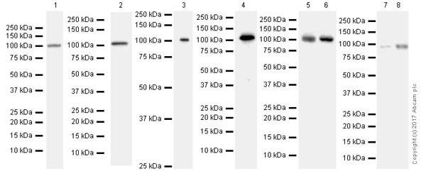 Western blot - Anti-MSH2 antibody [EPR21017-2] (ab212188)