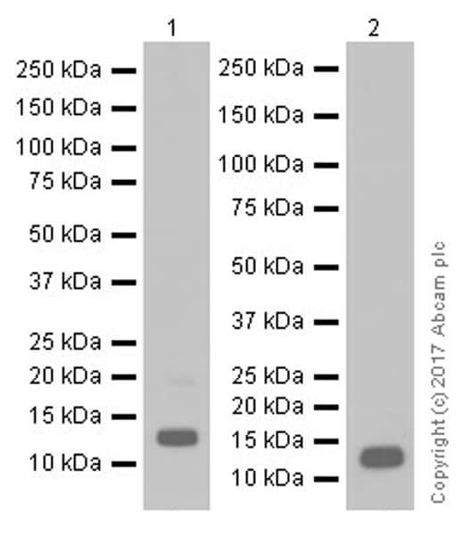 Western blot - Anti-Oxytocin antibody [EPR20973] (ab212193)